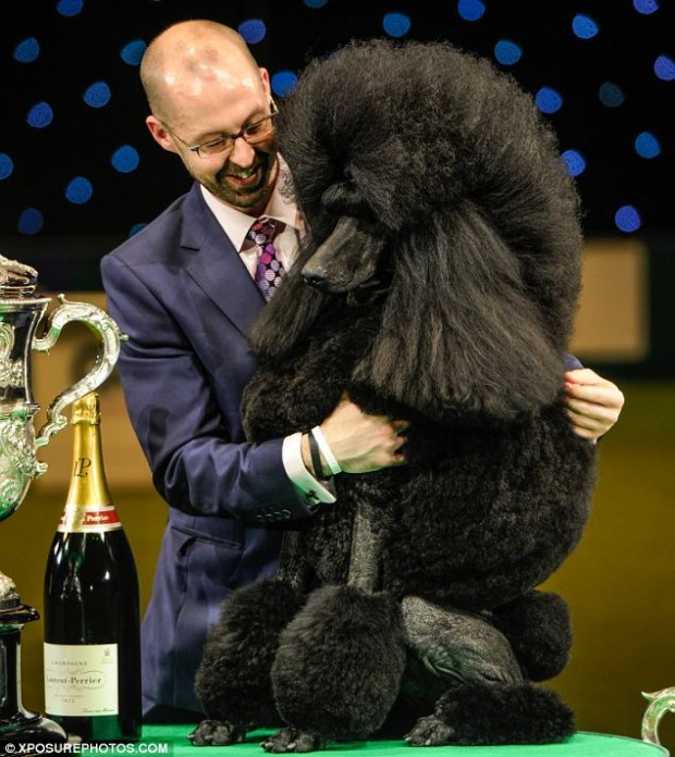 Vincitore Cruft 2014, ecco Ricky the Standard Poodle!